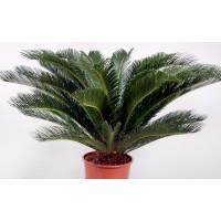 Planta interior - Cycas revoluta (palmier), H 60 cm, D 17 cm
