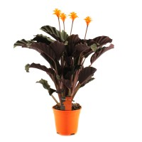 Planta interior - Calathea mix, H 40 cm, D 13 cm