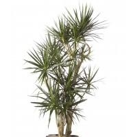 Planta interior Dracaena marginata H 100 cm D 21 cm