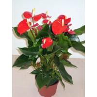 Planta interior Anthurium andreanum H 55 cm D 14 cm