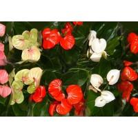 Planta interior Anthurium H 65 cm D 17 cm