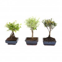 Planta interior - Bonsai mix bol, D 15 cm