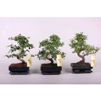 Planta interior Bonsai mix H 30 cm  D 15 cm