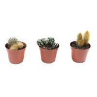 Planta interior - Cactus mix, D 10 cm