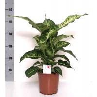 Planta interior - Dieffenbachia green magic, H 60 cm, D 17 cm