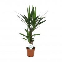 Planta interior - Yucca, H 80 cm, D 17 cm