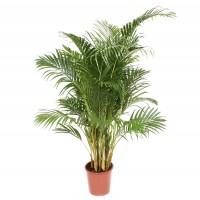 Planta interior - Palmier Areca, H 120 cm, D 24 cm