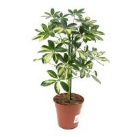 Planta interior - Schefflera (arborele umbrela) mix, H 45 cm, D 13 cm