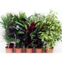 Planta interior - mix plante verzi H 110 cm D 21 cm