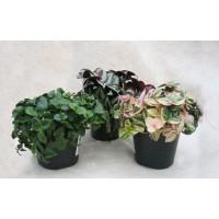 Planta interior - Trandescantia mix (planta curgatoare), H 35 cm, D 18 cm