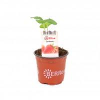Capsun Fragraria, sezon timpuriu, D 9 cm