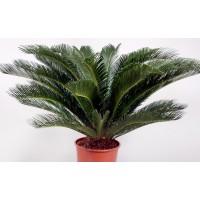 Planta interior - Cycas umbrela (palmier), D 14 cm