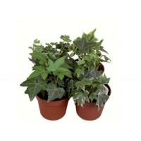 Planta exterior - Hedera (iedera) mix, D 9 cm