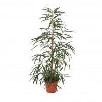 Planta interior - mix plante verzi H 150 cm