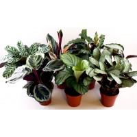 Planta interior - Calathea mix (planta paun), H 80 cm, D 19 cm