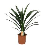 Planta interior, cu flori - Clivia miniata, H 55 cm, D 13 cm