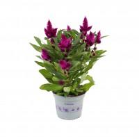 Planta exterior, cu flori, Celosia dark purple (Creasta cocosului), H 30 cm, D 12 cm