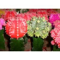 Planta interior - Cactus gymnocalyc mix, H 25 cm, D 8.5 cm