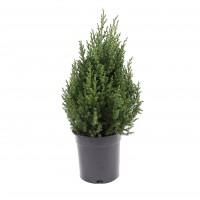Arbore ornamental Juniperus chinensis stricta H 60 cm D 21 cm