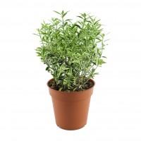 Arbust ornamental - Euonymus mix, H 30 cm, D 13 cm