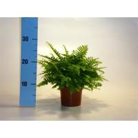 Planta interior - Feriga nephrolepis H 30 cm D 12 cm