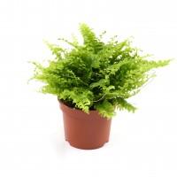 Planta interior - Feriga nephrolepis H 25 cm D 12 cm