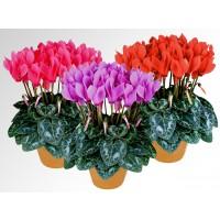 Planta interior, cu flori - Cyclamen mix f1 big flower, D 13 cm