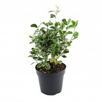 Arbust ornamental - Euonymus mix, H 30 cm, D 17 cm