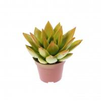 Planta interior, suculenta, Echeveria rainbow bicolor, D 6 cm