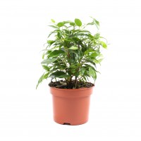 Planta interior - Ficus benjamina kinky H 25 cm D 12 cm