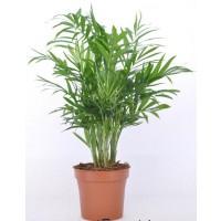 Planta interior - Chamaedorea elegans (palmier pitic), H 50 cm, D 12 cm