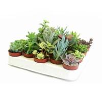 Plante interior - mix suculente, D 5.5 cm