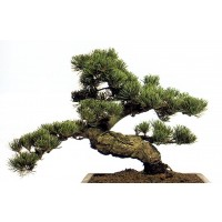 Planta interior Bonsai shangai mix H 35 cm