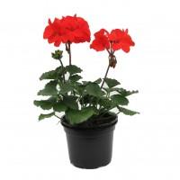 Planta cu flori, muscata, D 12 cm