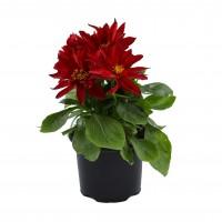 Planta exterior, cu flori, Dalia, D 10.5 cm