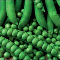 Seminte legume Agrosel, mazare Kelvedon Wonder