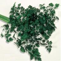 Seminte legume Agrosel, patrunjel frunze Plain Leaved 2