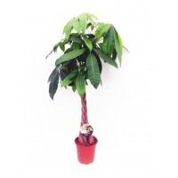 Planta interior - Pachira aquatica (arborele banilor), H 105 cm, D 24 cm