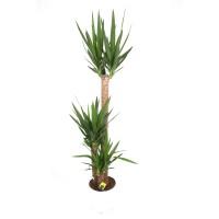 Planta interior - Yucca, H 130 cm, D 24 cm