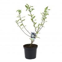 Arbore ornamental - Magnolia mix, H 70 cm, D 21 cm