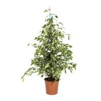 Planta interior - Ficus benjamina golden king, H 150 cm, D 27 cm