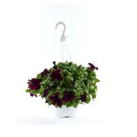 Planta exterior, cu flori, petunie curgatoare, D 19 cm