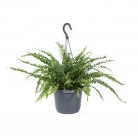Planta interior - Feriga nephrolepis hanging H 35 cm D 18 cm