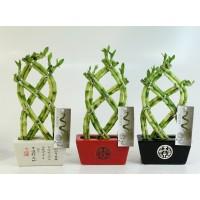 Planta interior - Lucky bamboo (bambus) mix, ghiveci ceramic, D 17 cm