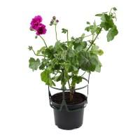 Planta exterior, cu flori, muscate - Pelargonium peltatum, D 12 cm