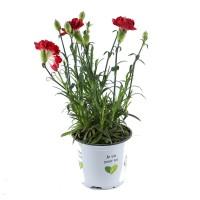 Plante de gradina, cu flori, garofite - Dianthus caryophyllus, D 10.5 cm