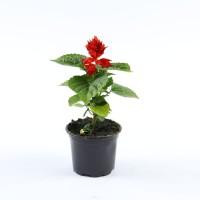 Planta exterior, cu flori, Salvia, rosu, D 9 cm