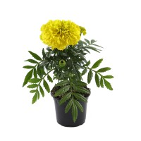 Planta de gradina, cu flori, craita - Tagetes erecta, D 9 cm