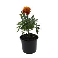 Planta de gradina, cu flori, craita - Tagetes patula, D 9 cm