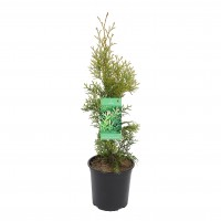 Arbore ornamental Tuia / Thuja occidentalis smaragd, H 20 - 30 cm